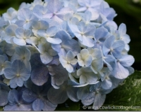 Hydrangeas in the Rain