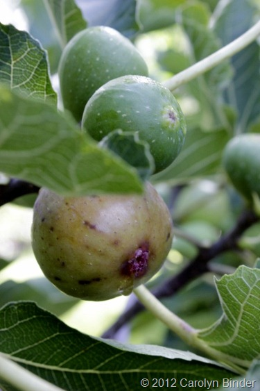 Growing Figs at Cowlick Cottage Farm