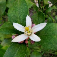 Meyer Lemon Blossom, www.cowlickcottagefarm.com