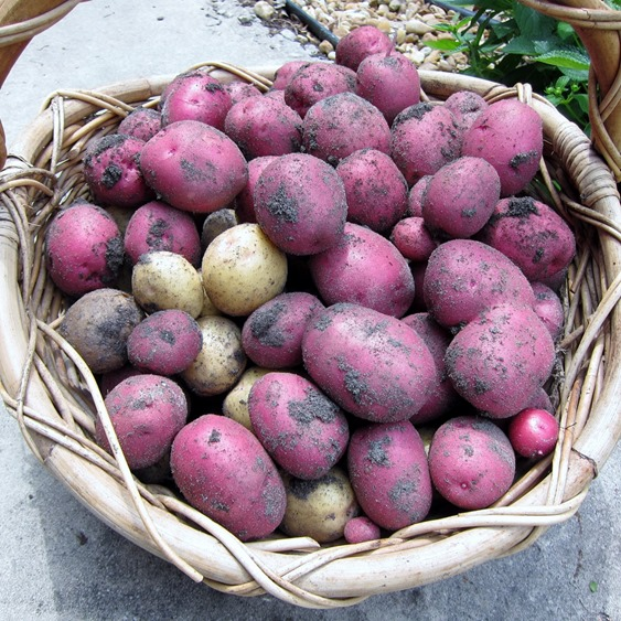 Growing and Harvesting Potatoes