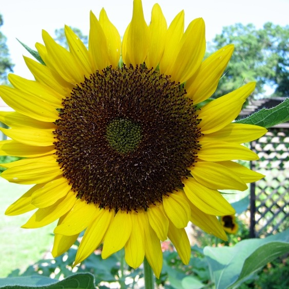 Sunflower, Cowlick Cottage Farm