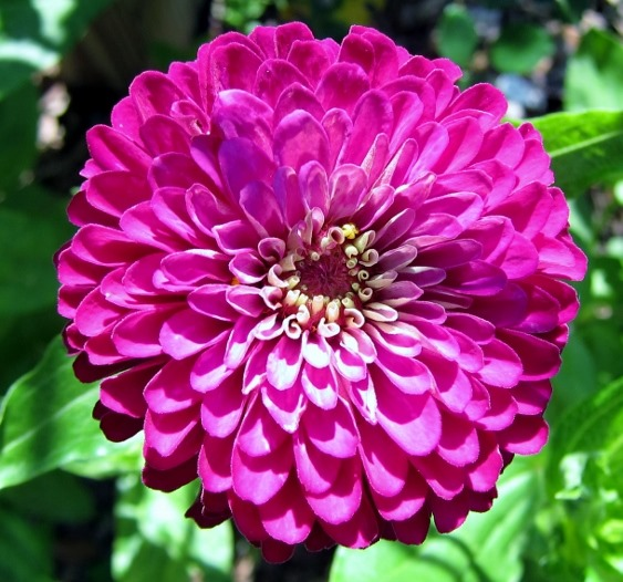 Zinnia, Cowlick Cottage Farm