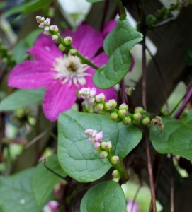 Clematis and Malabar spinach