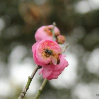 Apricot-Bee-January-II-1-2-2015-3-20-53-PM_thumb.jpg