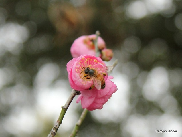 Apricot Bee January II 1-2-2015 3-20-53 PM