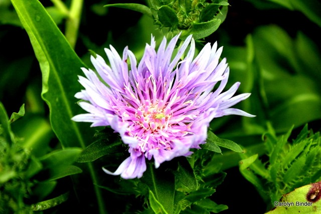 Stokes Aster 1-2-2015 3-24-43 PM